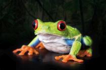 obrazy, reprodukce, Žába 1