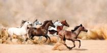 obrazy, reprodukce, Divocí koně
