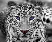 obrazy, reprodukce, Leopard