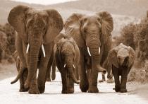 obrazy, reprodukce, Sloni na cestě