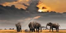 obrazy, reprodukce, Sloni v savaně