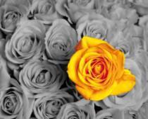 obrazy, reprodukce, Žlutá růže 4