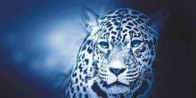 obrazy, reprodukce, Leopard 2