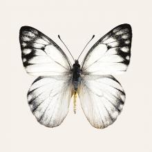 obrazy, reprodukce, Motýl 1