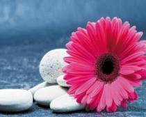 obrazy, reprodukce, Růžová gerbera