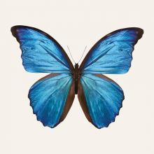 obrazy, reprodukce, Modrý motýľ