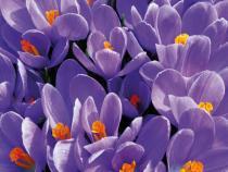 obrazy, reprodukce, Purple crocus