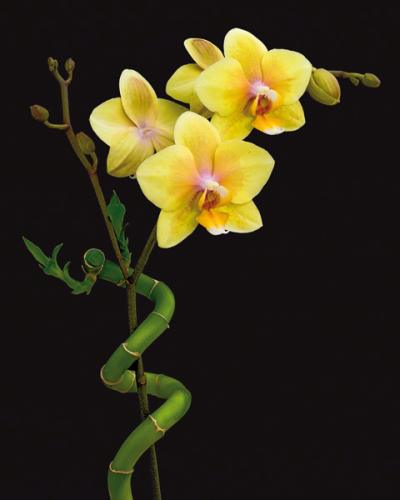 obraz Blooming yellow orchid and bamboo
