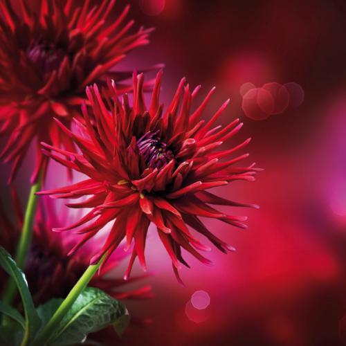 obraz Dahlia Autumn flower design 3