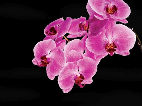 obraz Purple orchids