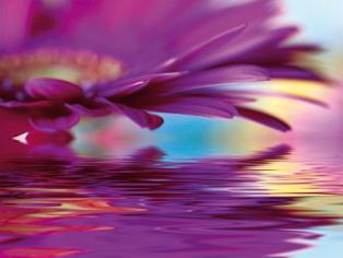 obraz Fialový květ gerbery 3