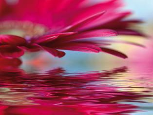 obraz Růžový květ gerbery 1