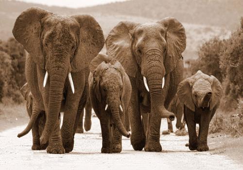 obraz Sloni na cestě