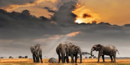 obraz Sloni v savaně