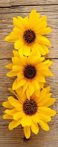 obraz Tři slunečnice