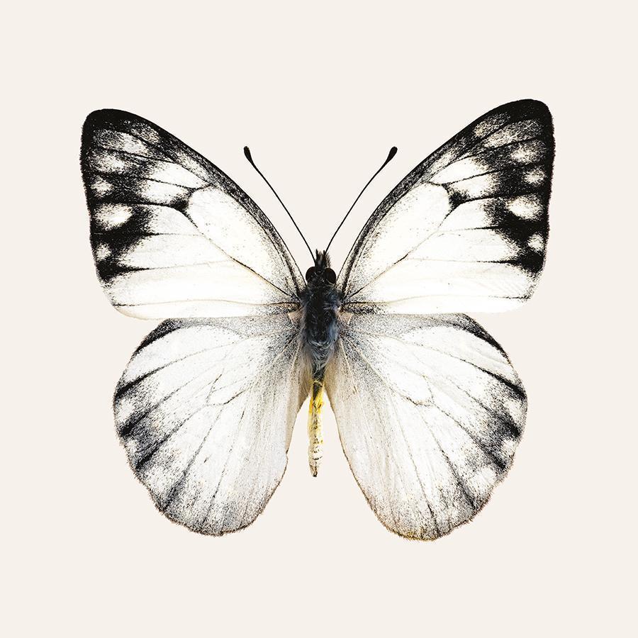 obraz Motýl 1