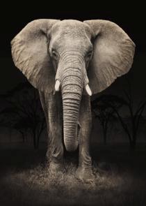 obraz Slon 3