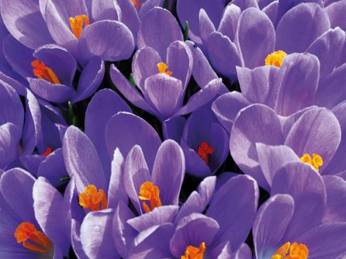 obraz Purple crocus